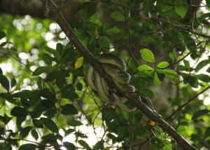 Little Amazon Takuapa - Grüne Baumschlange