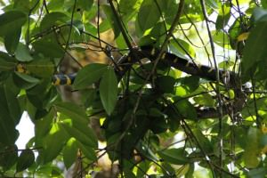 Little Amazon Takuapa - Mangrovenschlange